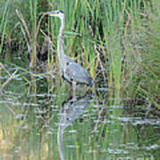 Great Blue Heron With Reflection Poster