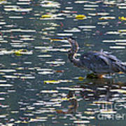 Great Blue Heron With Snack Poster