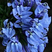 Great Blue Lobella Poster