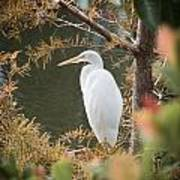 Great Egret  In Cypress Poster