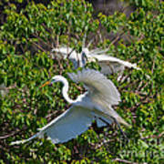 Great Egret In Flight Poster