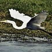 Great Egret In Flight  Poster