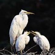 Great Egret In Nest With Young Poster
