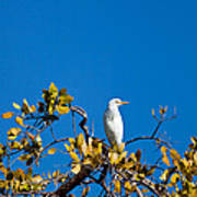 Great Egret On Watch Poster