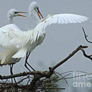 Great Egret Pair Poster