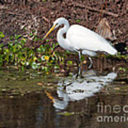 Great Egret Searching For Food In The Marsh Poster