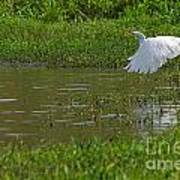 Great Egret Takeoff 2 Poster
