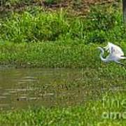 Great Egret Takeoff Poster