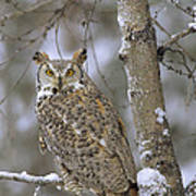 Great Horned Owl In Its Pale Form Poster by Tim Fitzharris