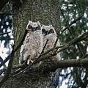 Great Horned Owls Young Poster