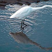 Great White Egret Poster