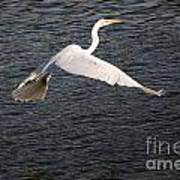 Great White Egret Flight Series - 10 Poster