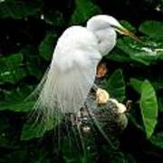 Great White Egret With Breeding Plumage Poster