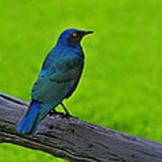 Greater Blue-eared Starling Poster
