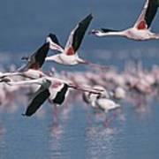 Greater Flamingos In Flight Over Lake Poster