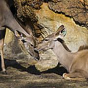 Greater Kudu Affection Poster