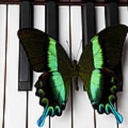 Green And Black Butterfly On Piano Keys Poster