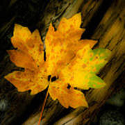 Green And Yellow Maple Leaf In Soft Focus Rests On A Log. Poster