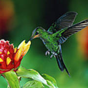 Green Crowned Brilliant Hummingbird Poster