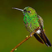 Green-crowned Brilliant Poster