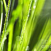 Green Dewy Grass  Poster by Elena Elisseeva