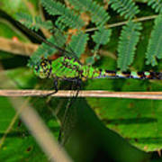 Green Dragonfly At Pond - 51006573f Poster