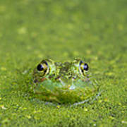 Green Frog Eyes Poster
