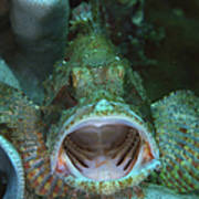 Green Grouper With Open Mouth, North Poster