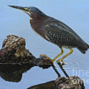 Green Heron Visiting The Pond Poster