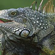 Green Iguana Barro Colorado Island Poster