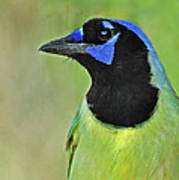 Green Jay Portrait Poster