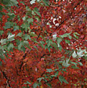 Green Leaves Against Red Leaves Poster