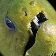 Green Moray Eel Close-up On Caribbean Poster