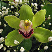Green Orchid In Baby's Breath Poster