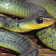 Green Racer Chironius Exoletus Poster