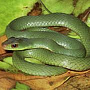 Green Racer Drymobius Melanotropis Amid Poster