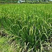 Green Rice Field In Taiwan Poster