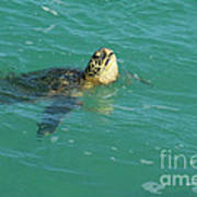 Green Sea Turtle 4 Poster