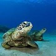 Green Sea Turtle Couple Poster