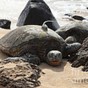 Green Sea Turtle With Gps Poster