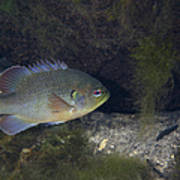 Green Sunfish Swimming Along The Rocky Poster