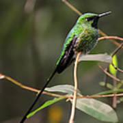 Green Tailed Trainbearer Hummingbird Stylized Poster