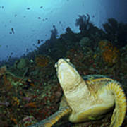 Green Turtle On Reef, Manado, North Poster