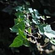 Green Vine Poster