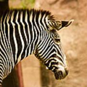 Grevys Zebra Poster