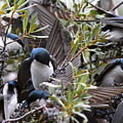 Grey Feathers - Tree Swallow Poster