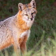Grey Fox - Vantage Point Poster