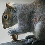 Grey Squirrel Dining Out Poster