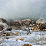 Grey Wolf Jumping Over A Mountain Stream Poster