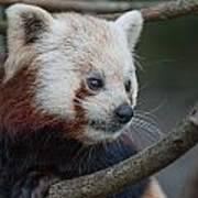 Grimacing Red Panda Poster